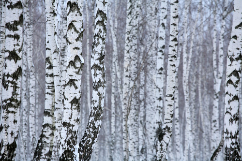 Spoed Fotobehang Berkbosje birch wood in winter