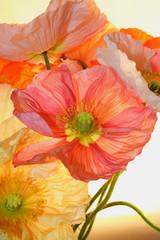Panel Szklany Maki poppy flower