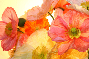 Fototapeta Do sypialni poppy flower