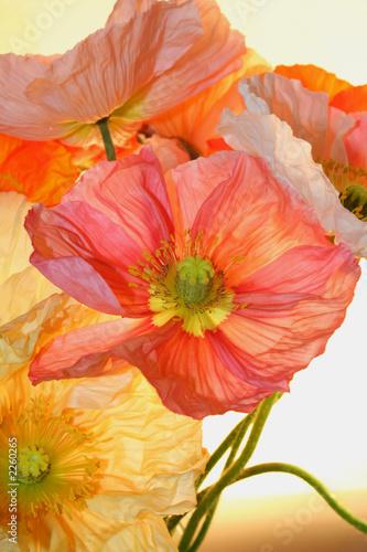 Fototapety do przedpokoju duze-kwiaty-makow