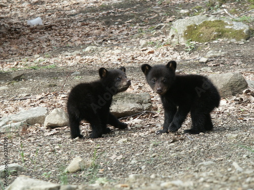 Fotografie, Tablou  two little cubs looking back at me