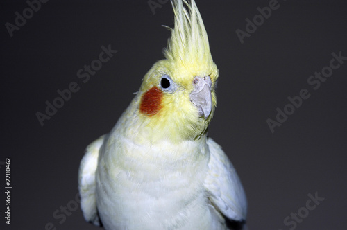 Photo Stands Parrot lutino cockatiel