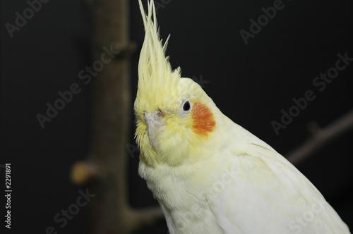 Poster Parrot lutino cockatiel