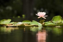 Lilypad With Reflection, Horizontal