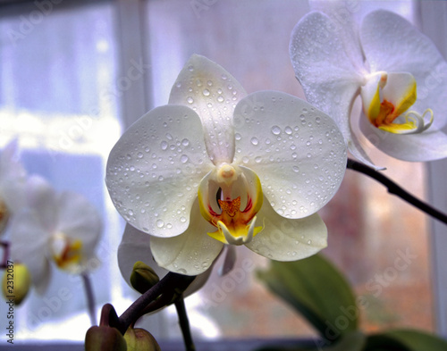 Naklejki kwiaty biala-i-pomaranczowa-orchidea