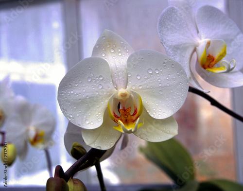 biala-i-pomaranczowa-orchidea