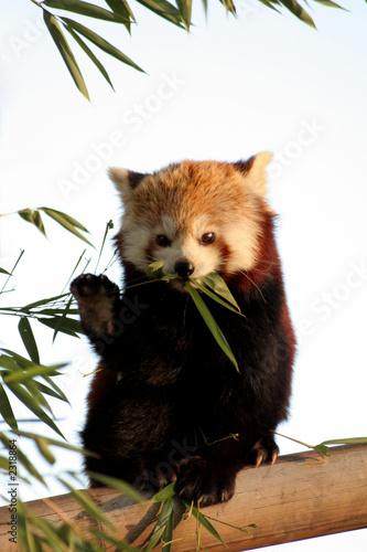 Fotografie, Tablou panda