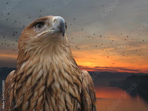 Poster Eagle brown eagle