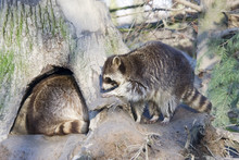Racoons Inside And Outside Of The Home