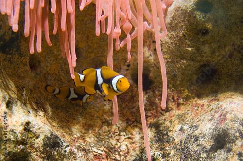 Fotografie, Tablou  clownfish in tank