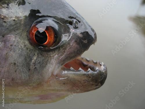 Valokuva  schwarzer piranha