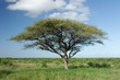 canvas print picture african acacia tree
