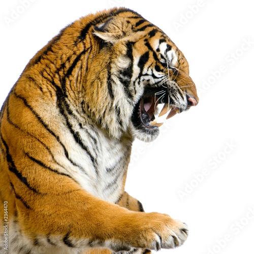 Photo  close-up d'un tigre agressif