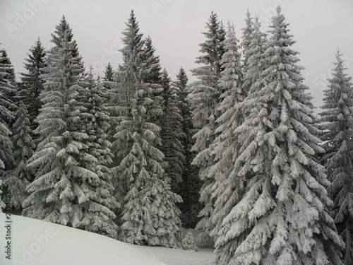 Obraz sapins sous la neige - fototapety do salonu