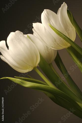 Naklejki tulipany biale-tulipany-na-ciemnym-tle