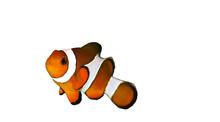 Clownfish/poisson Clown