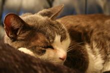 Gray House Cat