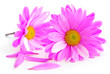 Leinwandbild Motiv pink flowers