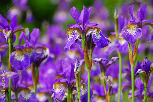 Spoed Foto op Canvas Iris irises