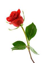 Red Valentine Rose With Dew