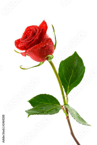 red valentine rose with dew Poster