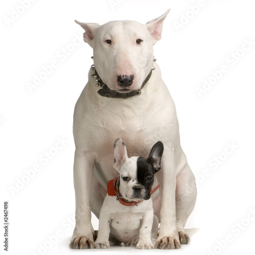 Carta da parati bull terrier et bulldogue français
