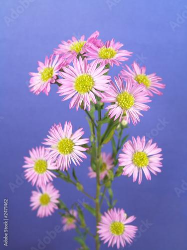 Foto op Canvas Bloemen small purple daisies
