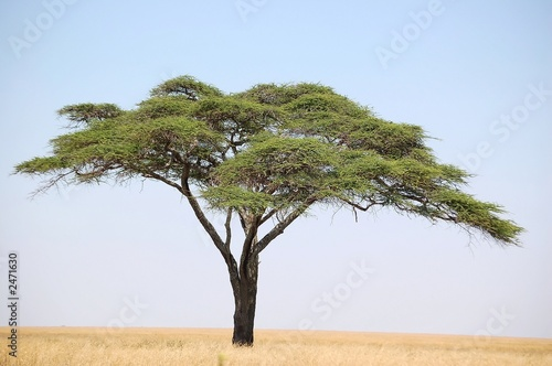acacia tree on the serengeti Wallpaper Mural