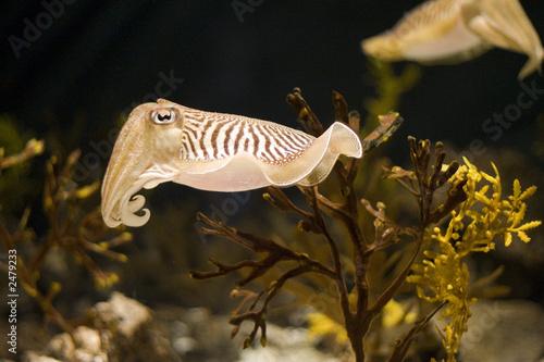 Fotografie, Obraz  cuttlefish wide