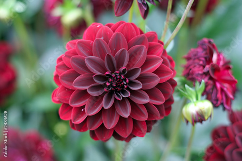 Fotografia, Obraz deep red dahlia bloom (formal decorative type)