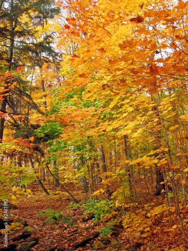 Fototapety, obrazy: sunny day in maple forest