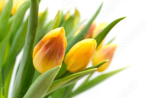 Papiers peints Tulip yellow tulips