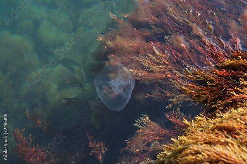 Fototapeta medusa with algae