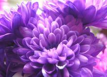 Dyed Chrysanthemums Purple