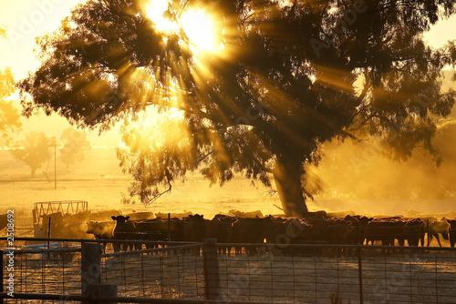 Photographie cattle sunrise