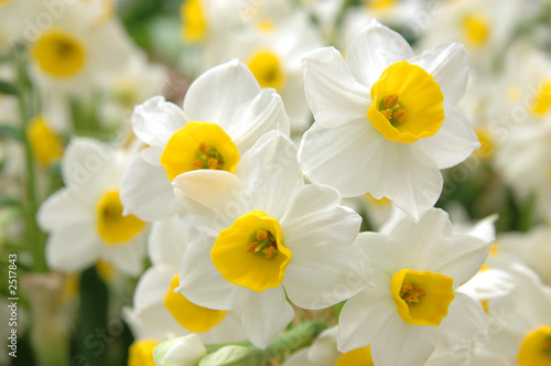 Papiers peints Narcisse white daffodils