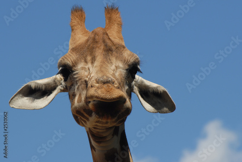 Fotobehang Giraffe giraffe