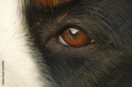 Photo sur Toile Vache chien bouvier bernois oeil