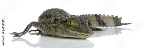 Poster Crocodile caïman à lunettes - caïman crocodilus