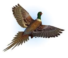 Ringnecked Pheasant Flying