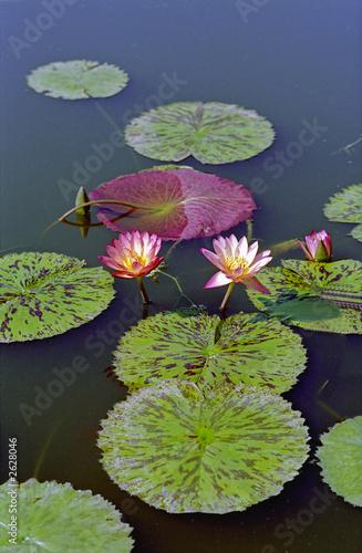 Deurstickers Waterlelies water lilys