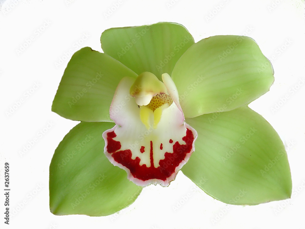 Obraz flower of cymbidium fototapeta, plakat