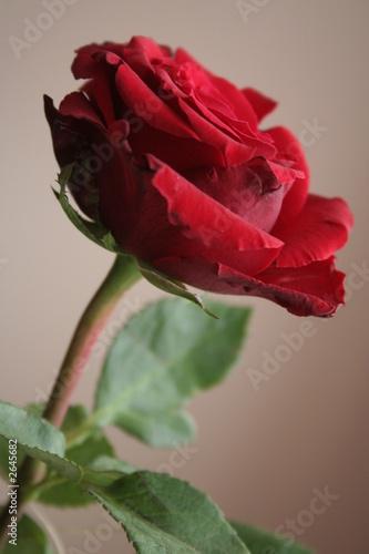 canvas print motiv - g.wdowiarz : red rose