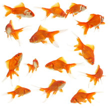 Lots Of Goldfishes