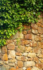Fototapeta Struktura ściany ivy climbing the old wall
