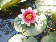 Lone Water Lily In The Pond