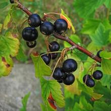 Balckcurrant Berries