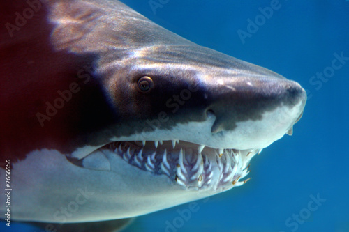 Fotografie, Obraz  shark with mouthful of teeth