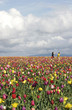 canvas print picture - kids in tulip fields