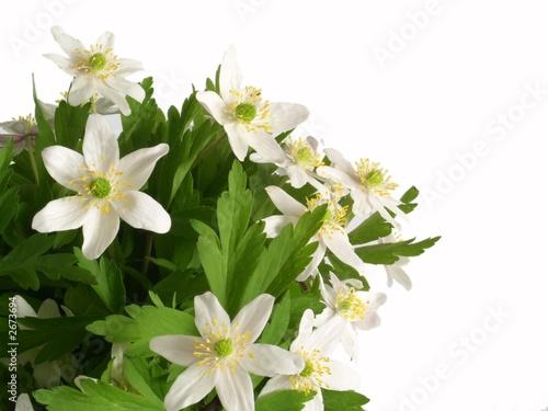 anemone flowers Fototapete